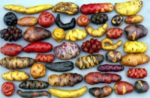 Variety of Potatoes