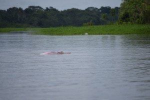 Pink Dolphins in Iquitos