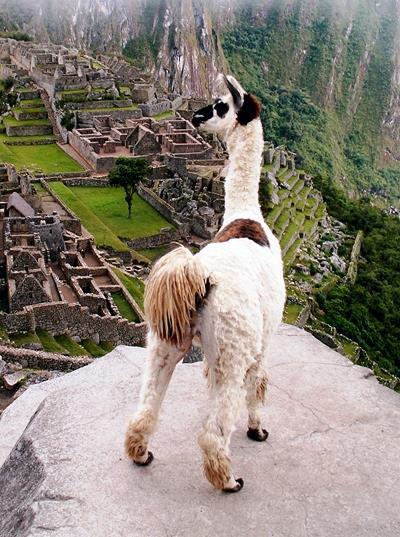 Llama Machupicchu